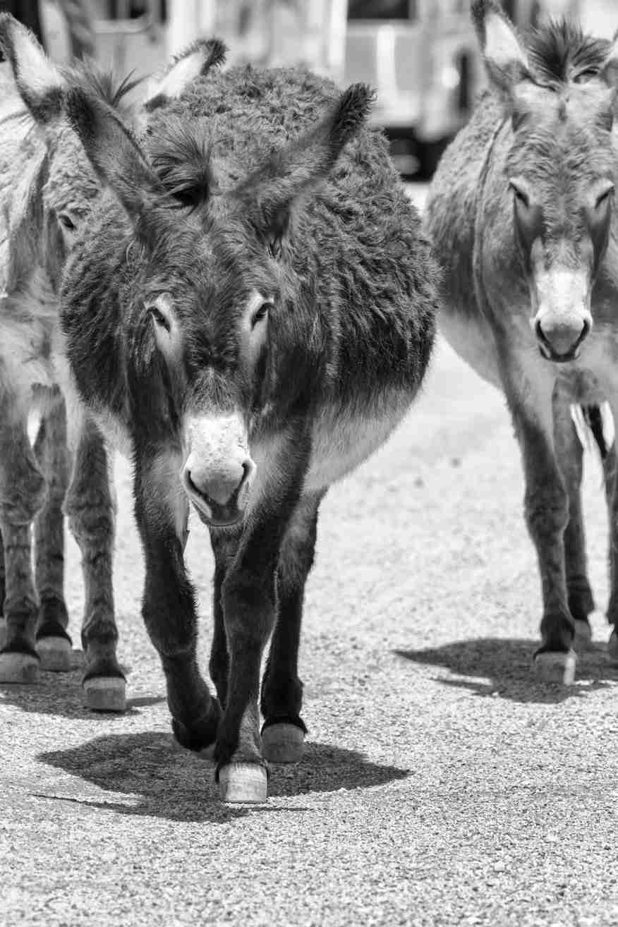 Black & White Print of Wild Donkeys on the March