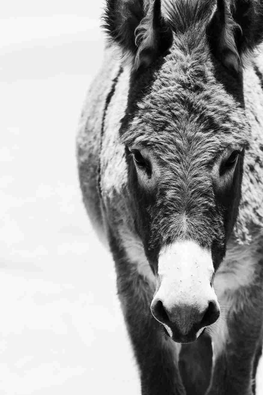 Black & White Print of a Wild Donkey Standing