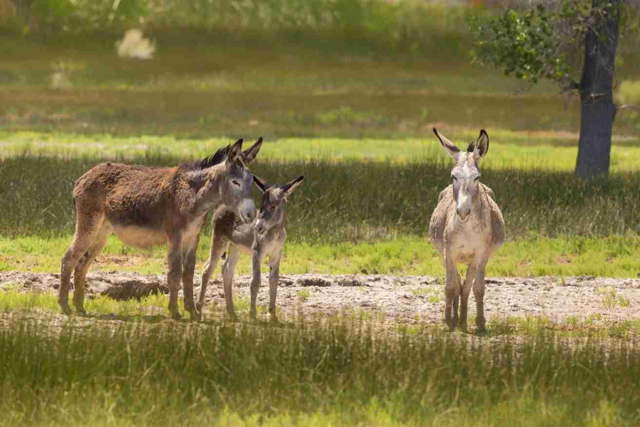 Print of a Baby Donkey with Family