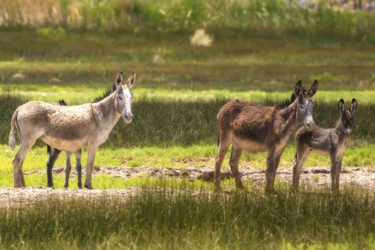 Print of a Family of Wild Donkeys
