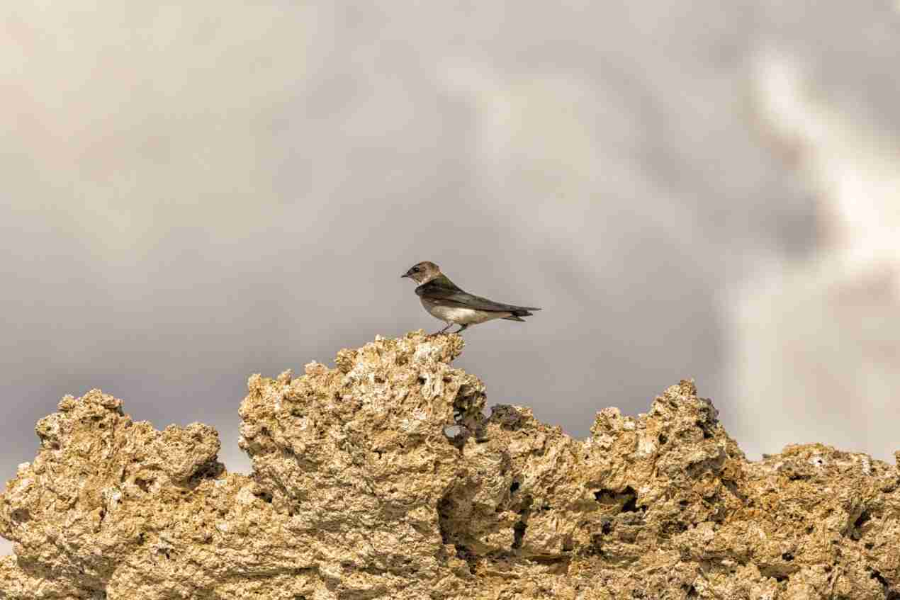 Print of a Cliff Swallow at Mono Lake