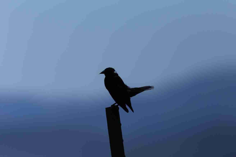 Print of a Silhouette of a Blackbird