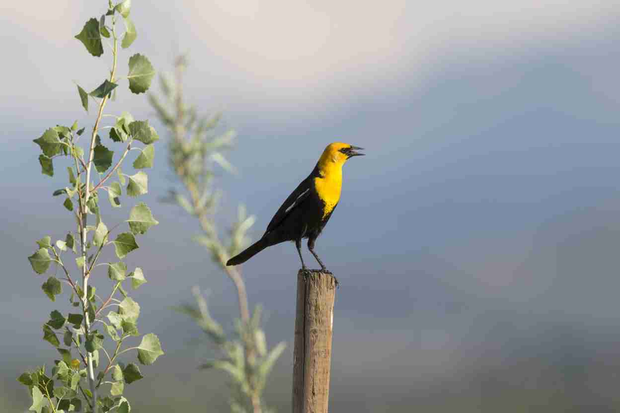 Print of a Yellow-Headed Blackbird on a Post