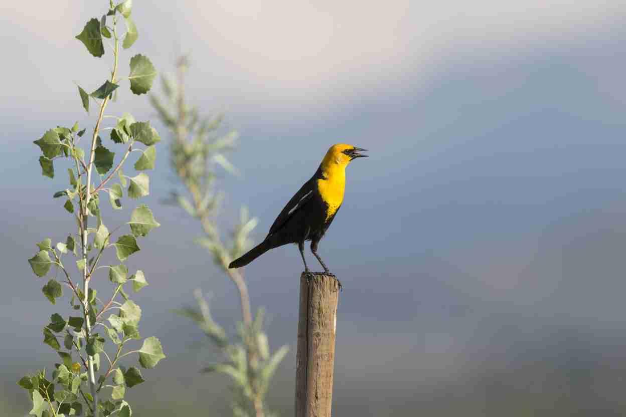 Print of a Yellow-Headed Blackbird on a Post