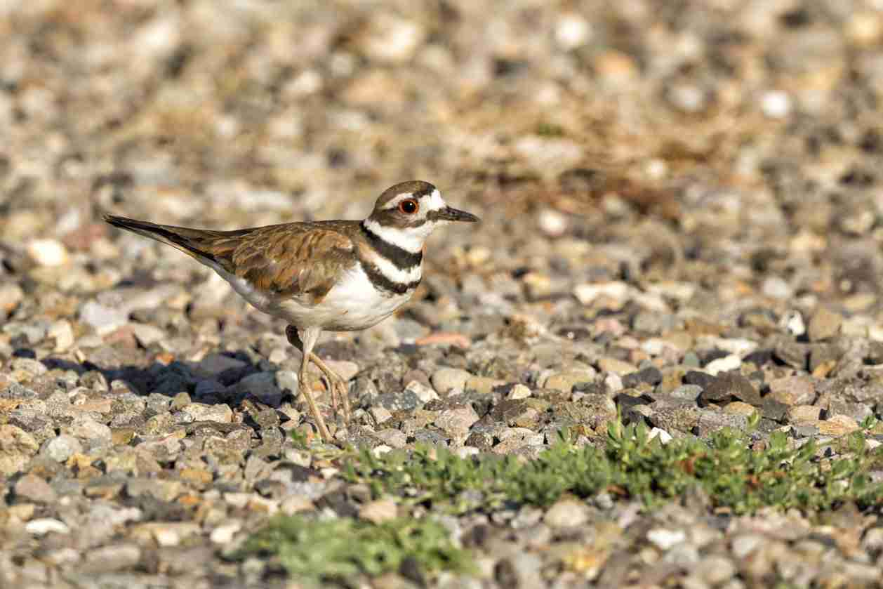 Print of a Killdeer Bird on the Rocks