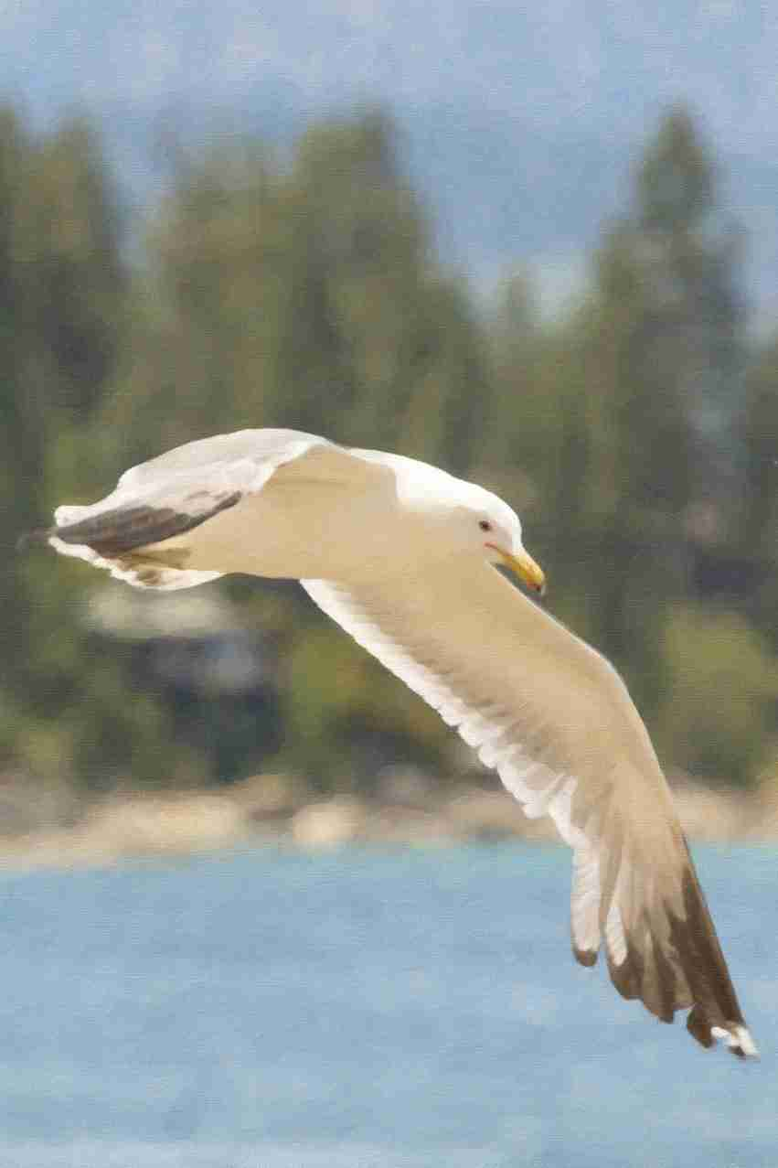 Print of a Seagull at Lake Tahoe