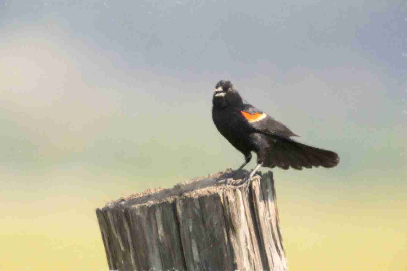 Print of a Chirping Blackbird
