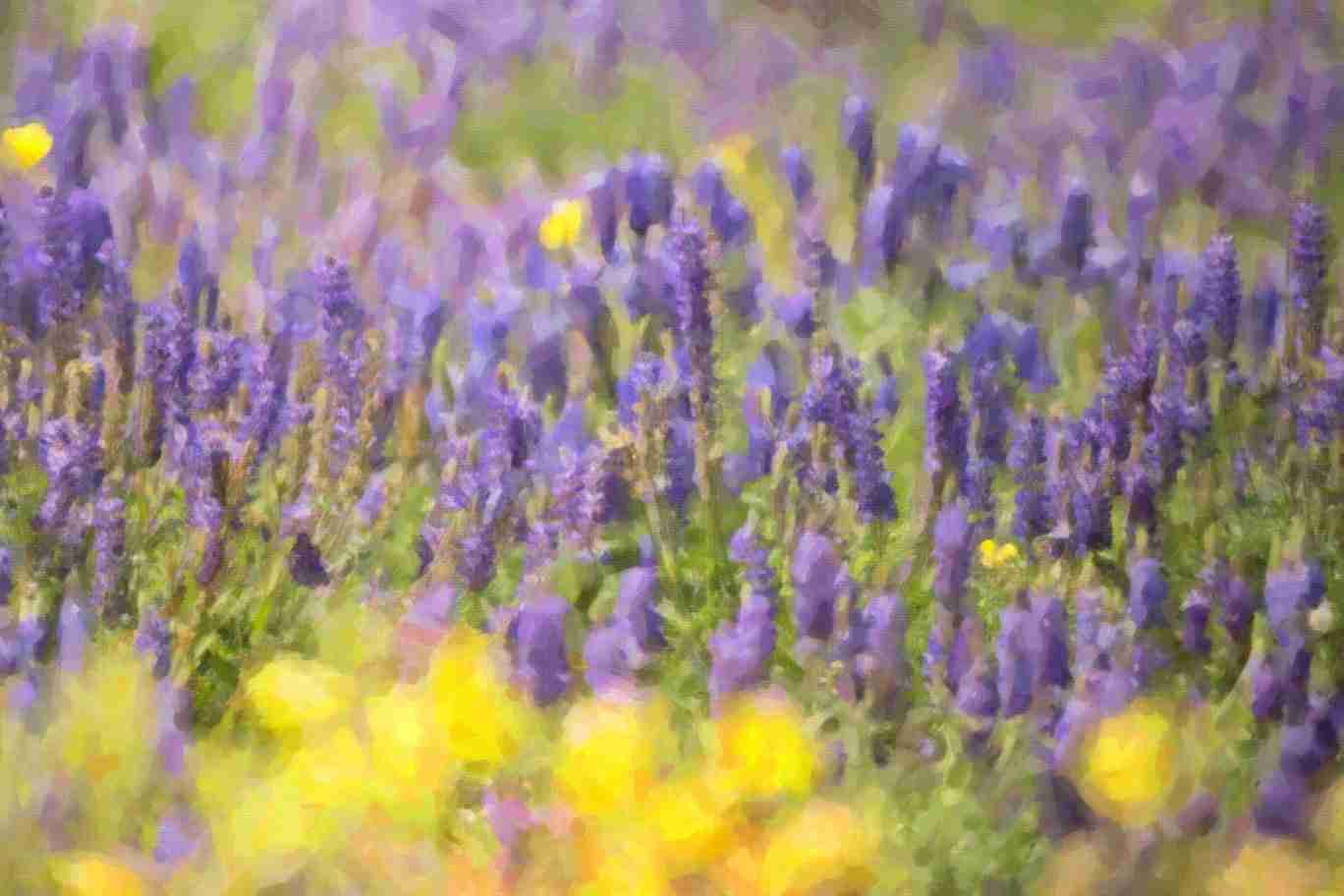 Print of a Field of Wild Purple Lavender