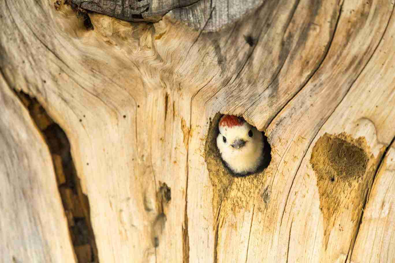 Print of a Red-Headed Woodpecker Chick Peeking from a Log