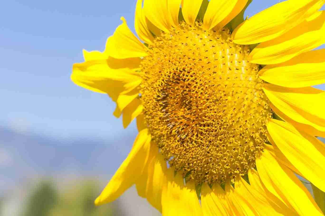 Print of a Wind Blown Yellow Sunflower
