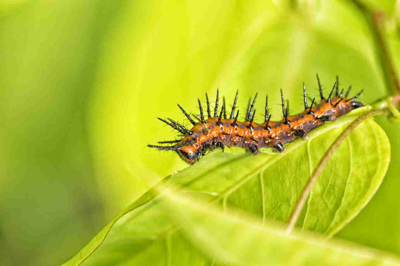 Print of Black and Orange Caterpillar in Hawaii